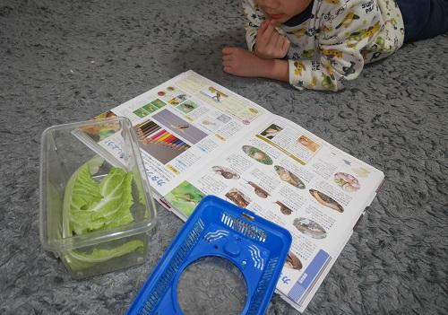 白菜から出たかたつむりを図鑑で調べる男の子