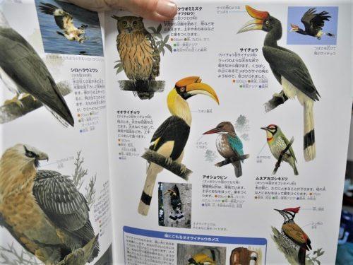 小学館ネオの鳥の図鑑のサイチョウのページ